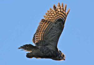 Great Horned Owl | Pixabay Image