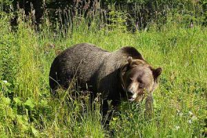 Grizzly Bear   Pixabay
