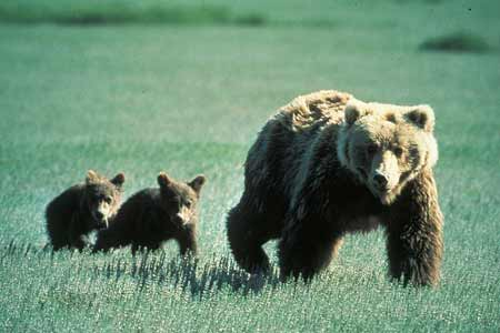 Grizzly with Cubs | Pixabay Image