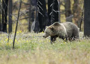 Grizzly in The Forest | Pixabay