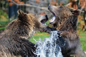 Grizzly Bears Playing | Pixabay Image