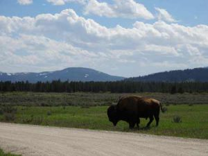 Bison In West Yellowstone | Photo: D. Lennon