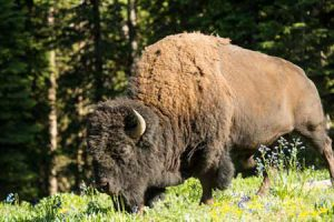 Bison | Photo: Lone Mountain Ranch