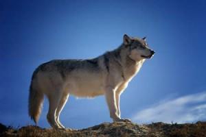Lone Wolf Skyline Pixabay