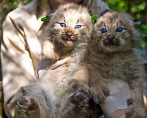 Lynx Kittens | Pixabay Image