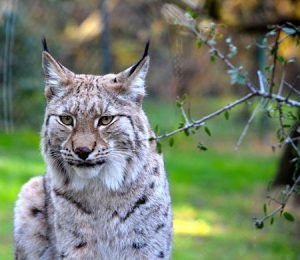 Interesting Facts About Canada Lynx