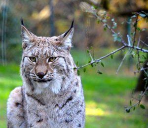 Lynx | Pixabay Image