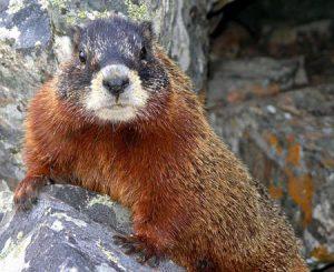 Marmot | Pixabay Image