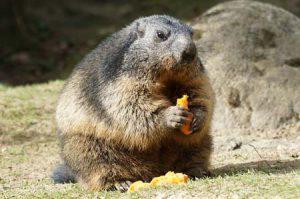 marmot | Pixabay
