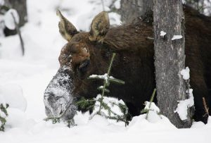 Moose In The Snow | Pixabay Image