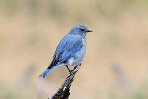 Mountain Bluebird Shuttestock