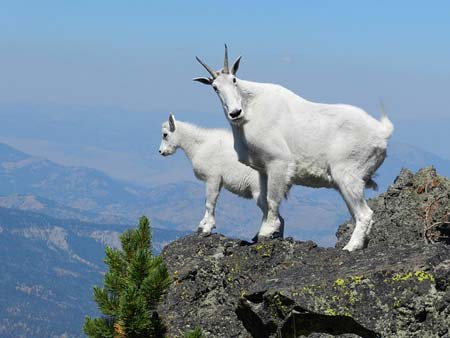 mountain goats | Pixabay