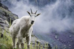 mountain goats | Pixabay