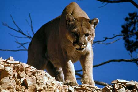 Mountain Lion | Photo: Pixabay