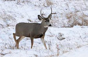 Mule Deer in winter | Pixabay Image
