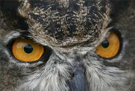 Great Horned Owl Eyes   Pixabay Image