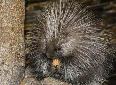 Porcupine | Pixabay Image