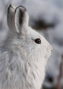Snowshoe Hare Profile | Pixabay