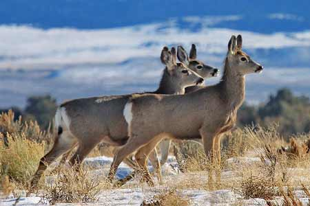 Three Mule Deer | Pixabay Image