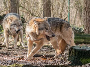 Two wolves pixabay image