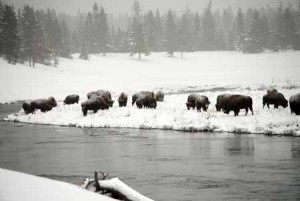 WIld Bison Along River In Yellowstone National Park