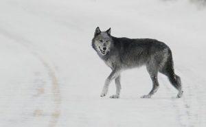 Wolf In YNP | Pixabay Image