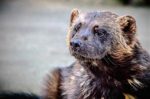 Wolverine | Pixabay Image