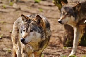 wolves pixabay