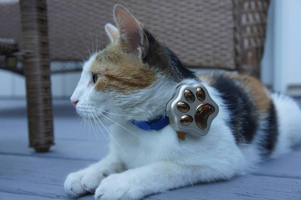 cat wearing Paw Tracker