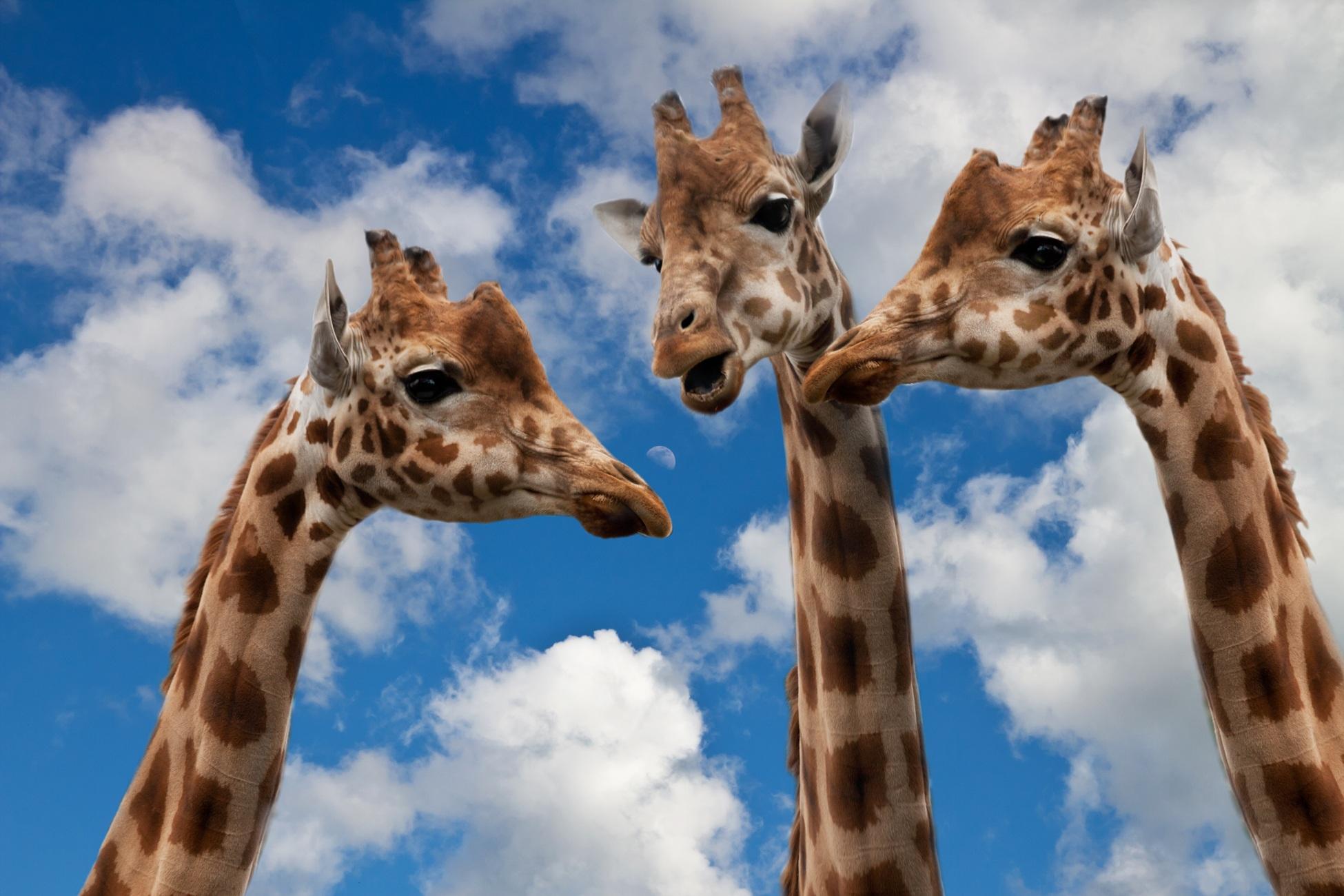 giraffes blog
