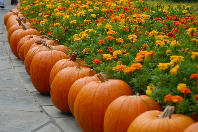 line of pumpkins around a bed of flowers representing the holiday season