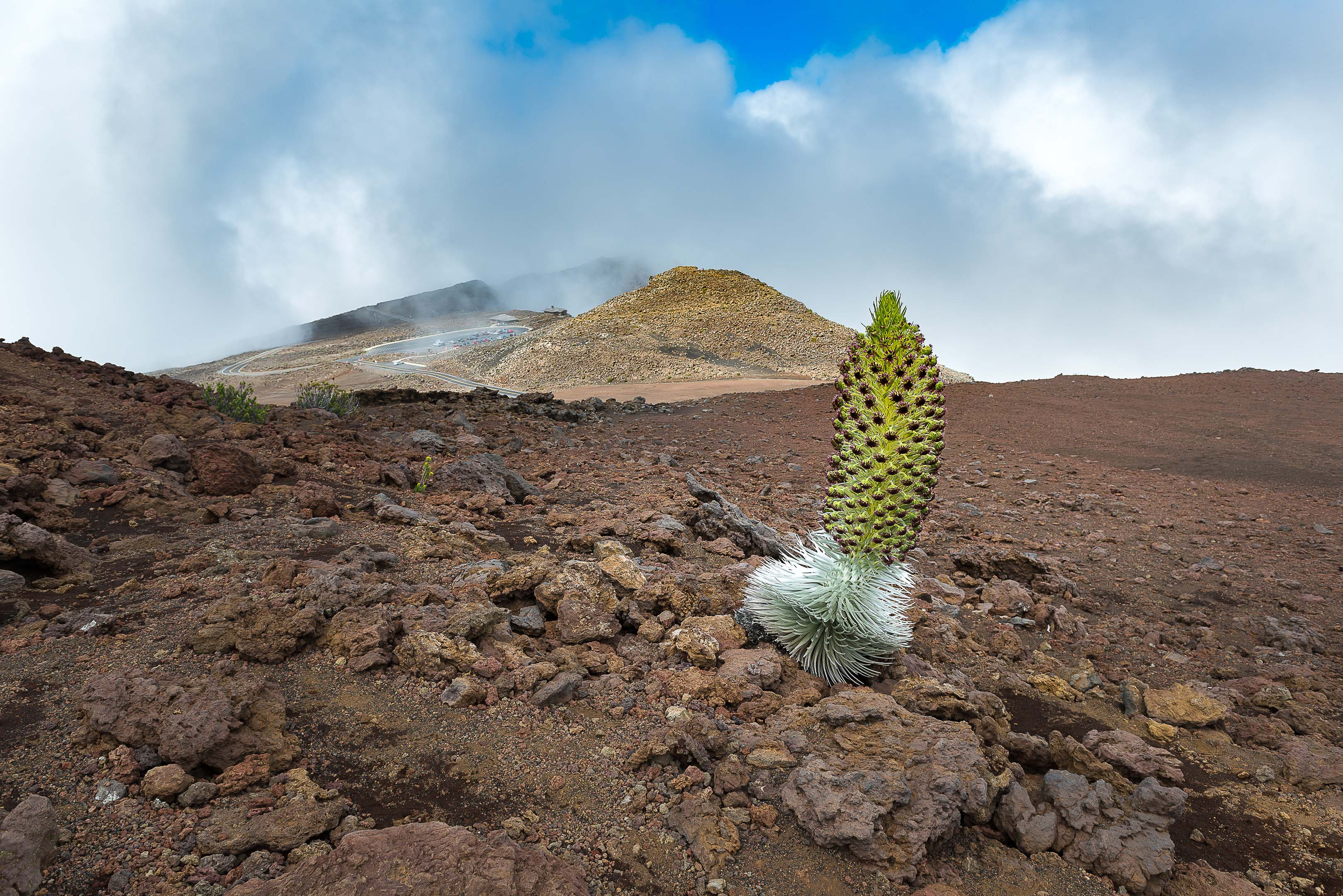 Hawaiian Silversword on Haleakala
