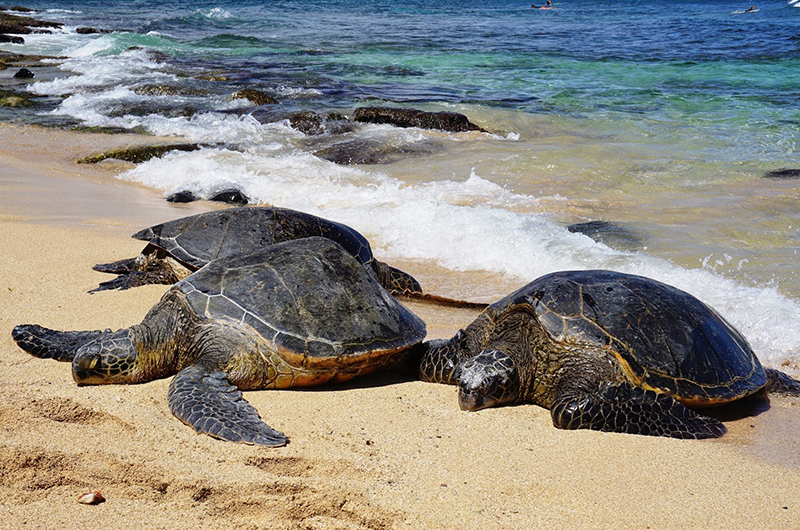 Hookipa is a great place to spot giant Hawaiian Sea Turtles