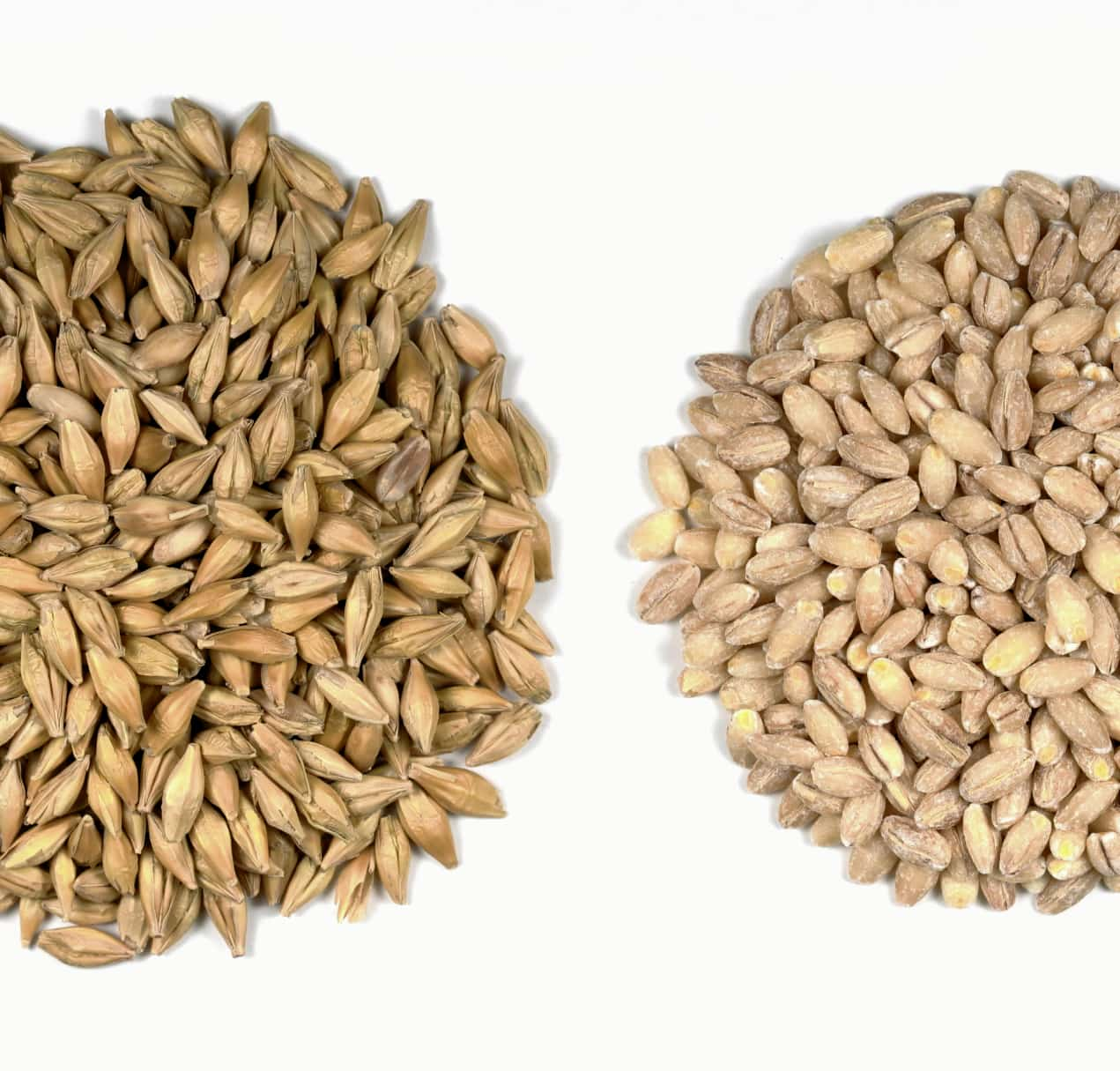 image of barley