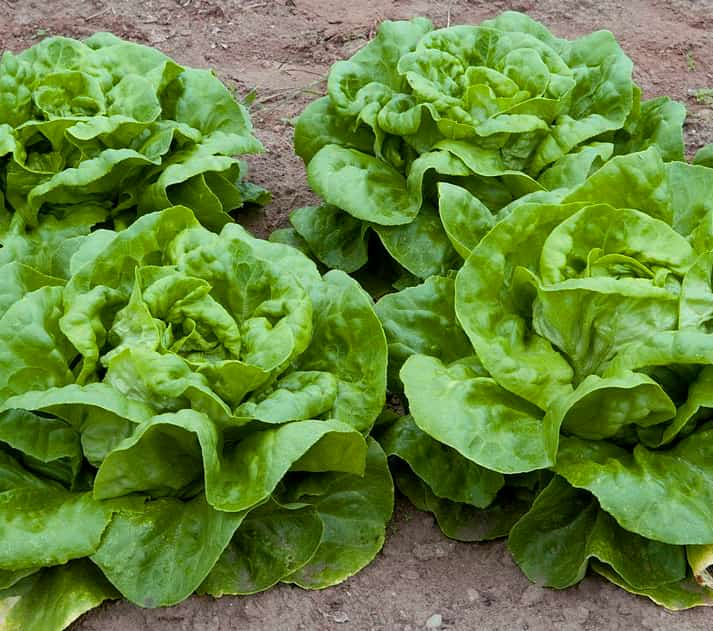 image of butterhead lettuce
