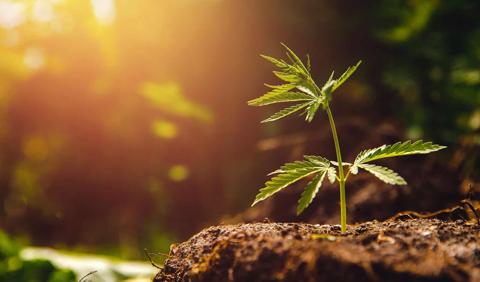 Marijuana – Effects on Developing Young Brains
