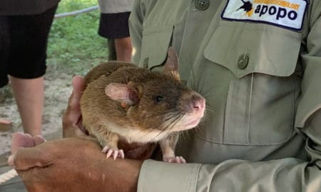 These-HeroRATS-Help-Save-Cambodians-by-Detecting-Landmines-APOPO-main-image
