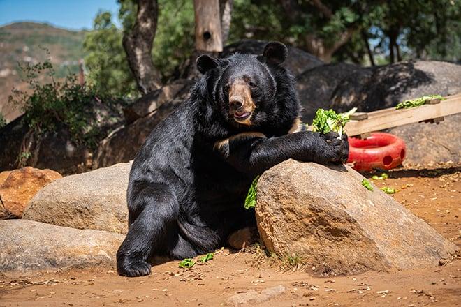 Teddy_Himalayan Black Bear_SHARYN UMANA ANGERS